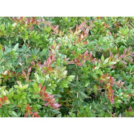 Berberis x Hybrido Gagnepainii 'Chenaultii'