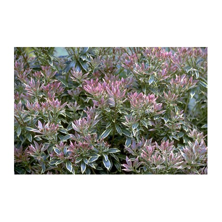 Pieris Japonica 'Little Heath Variegata'