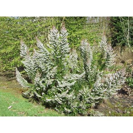Erica arborea Bruyère arborescente