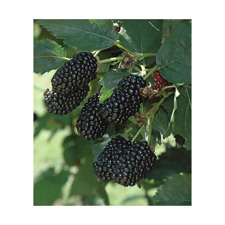 Mûre blackberry