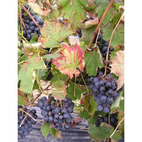 vigne Alphonse Lavalée