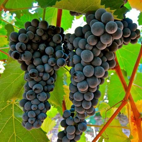 vigne Muscat de Hambourg