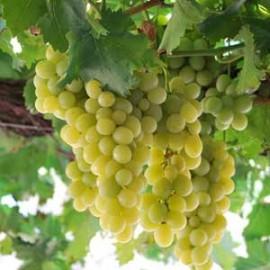 vigne 'Italia'
