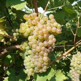 vigne Chasselas Doré de Fontainebleau