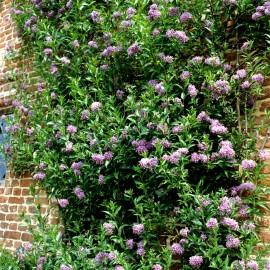 Solanum jasminoïdes bleu