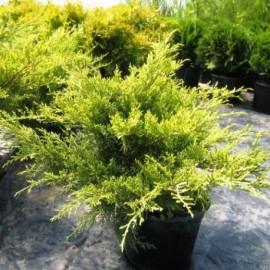 Juniperus x Media 'Old Gold'