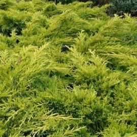 Juniperus pfitzer aurea