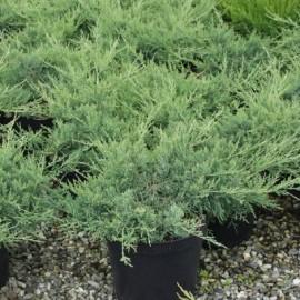 Juniperus pfitzer Glauca