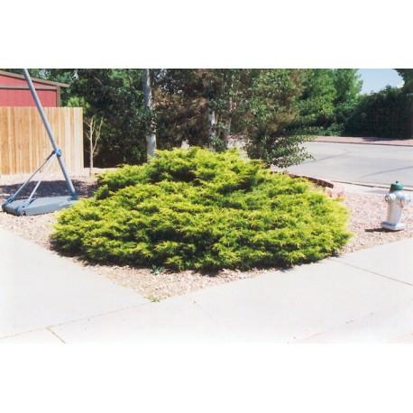 juniperus x Media 'Gold Coast'