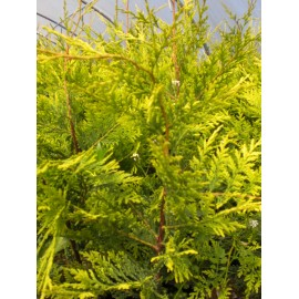 Chamaecyparis leylandii Castle gold