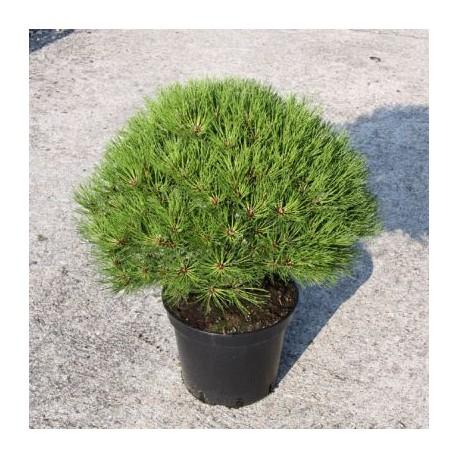 Pinus nigra 'Marie Bregon'