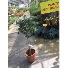 Acca sellowiana mini tige