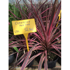 Cordyline pink fire