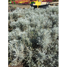 Helichrysum than weisses wunder