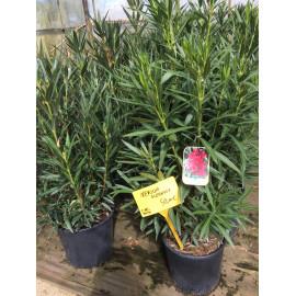 Nerium oleander ou laurier rose