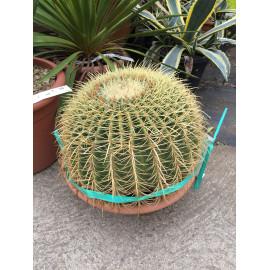 Echinocactus grusonnii