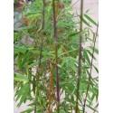 Bambous et Fargesias
